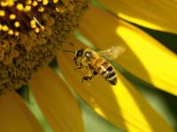 レジャーの季節はハチの季節? 応急手当や予防策を知っておこう